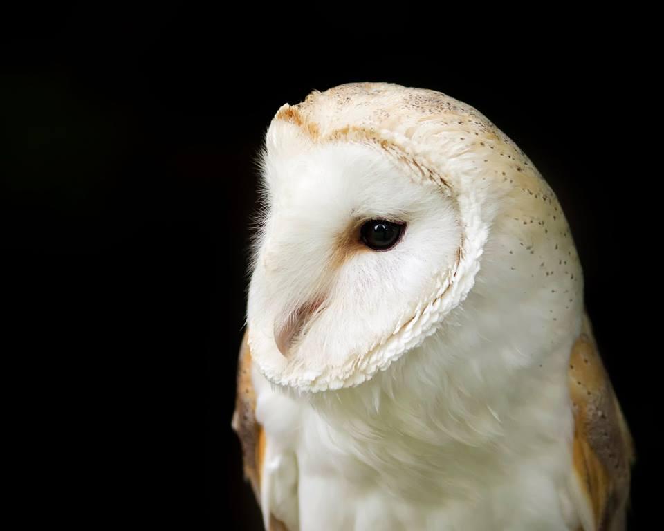 Birds Of Prey Shows In Yorkshire Owl Adventures