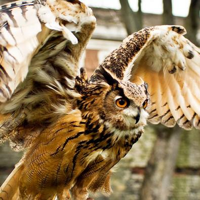 Birds of Prey Displays in Yorkshire, school visits and flying shows